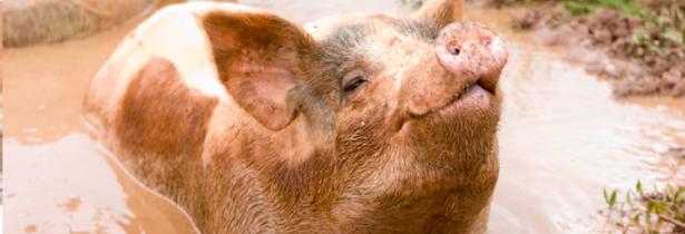 like-pigs-in-mud